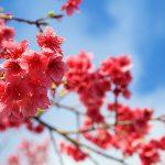 八重岳花見→MAJIKASI