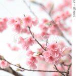 桜の画像が売れました
