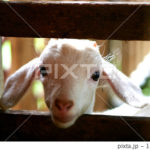 PIXTAで子ヤギの画像が売れた
